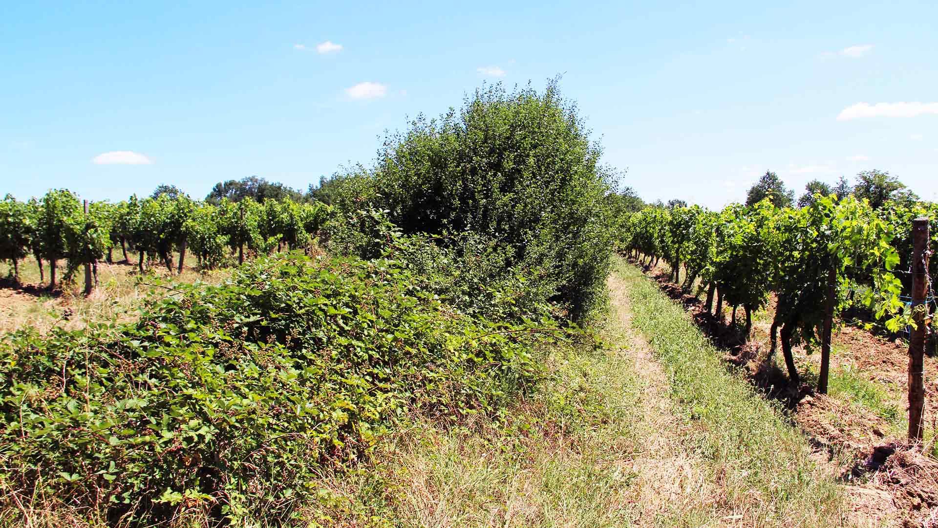 julien,aurou,vignes,raisins