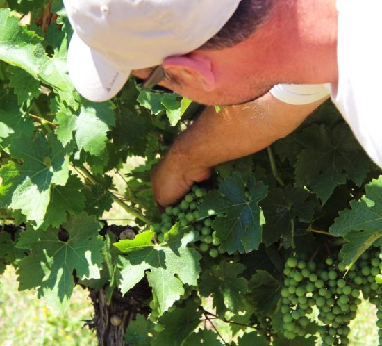 julien,auroux,raisins