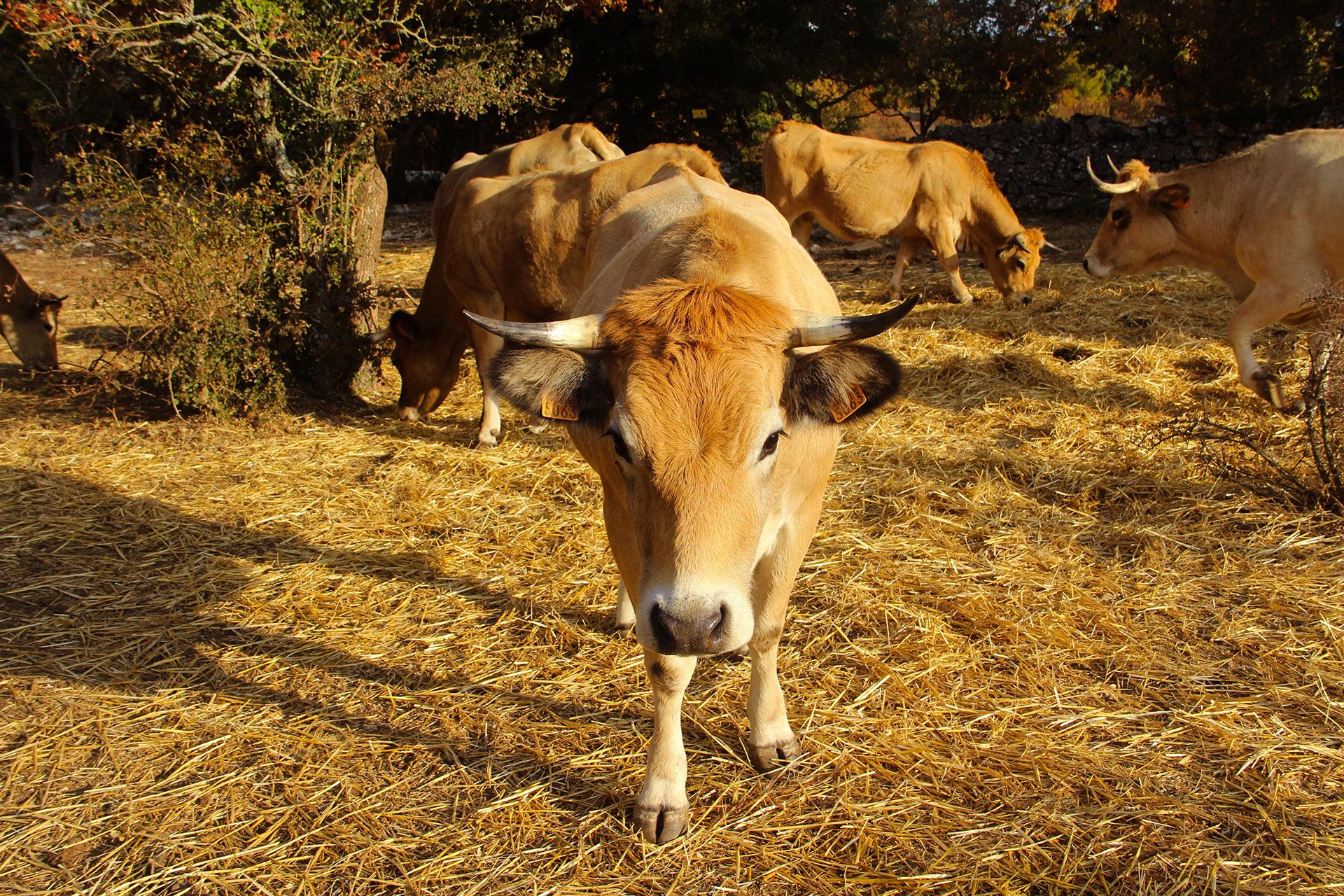 regard-vache