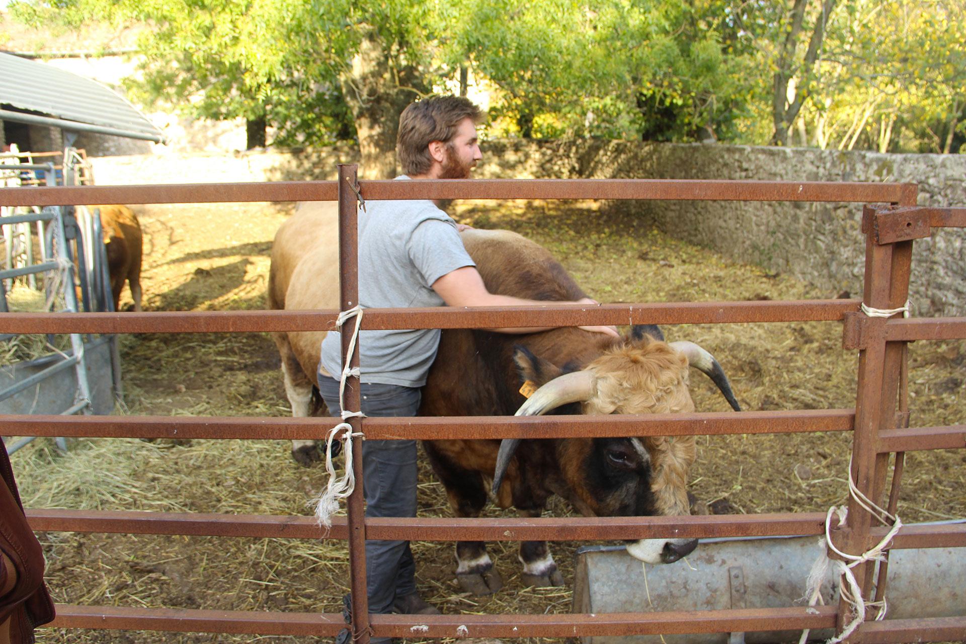 renault-taureau