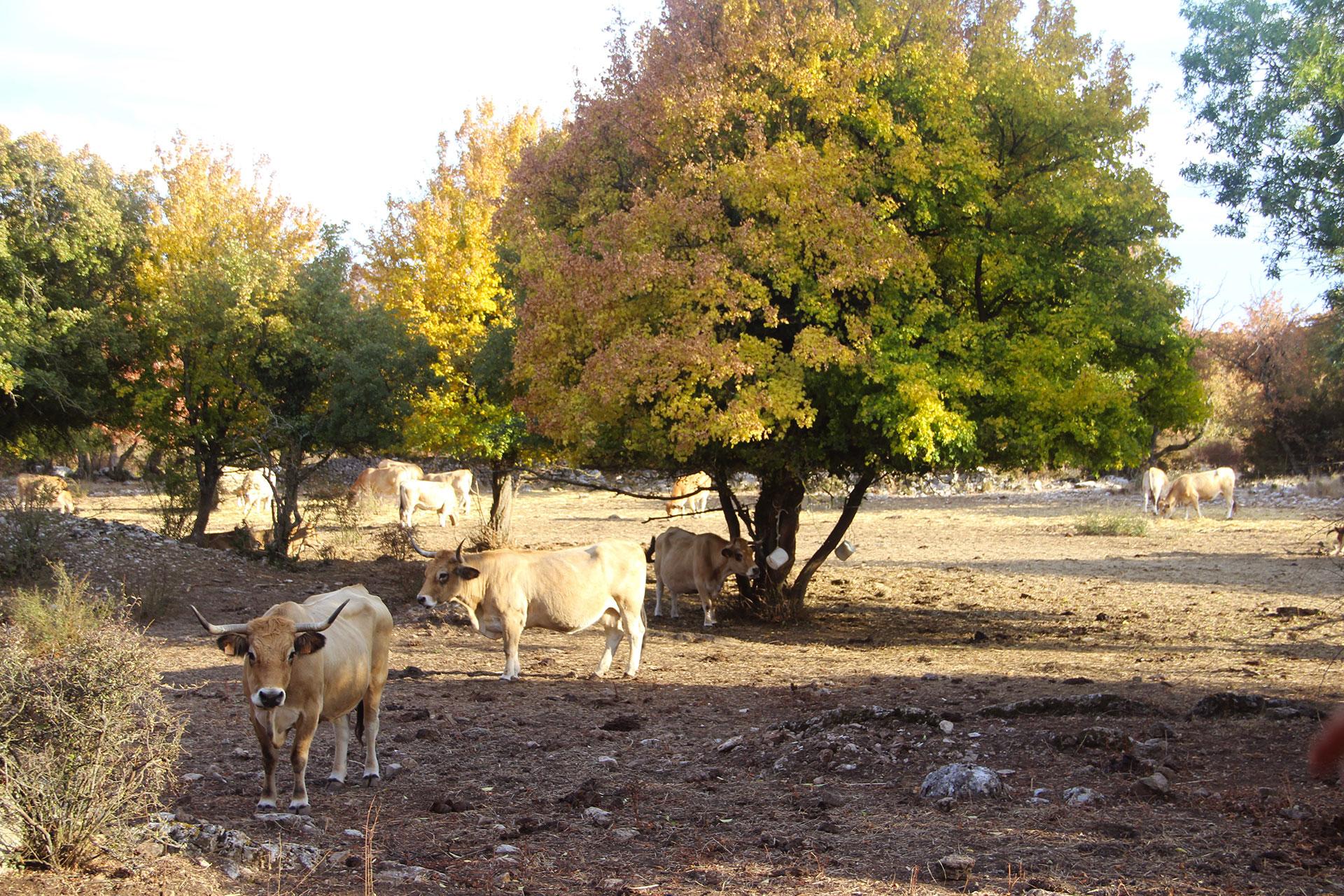 vaches-aubrac