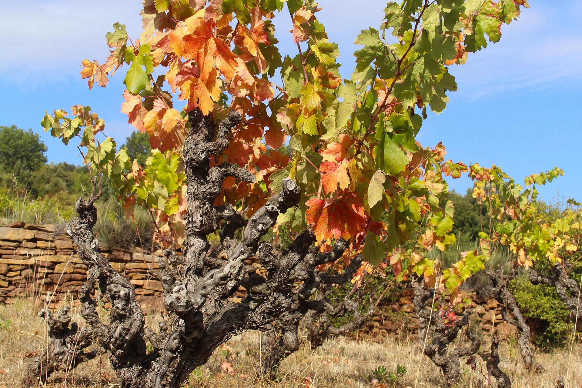Languedoc-vignes