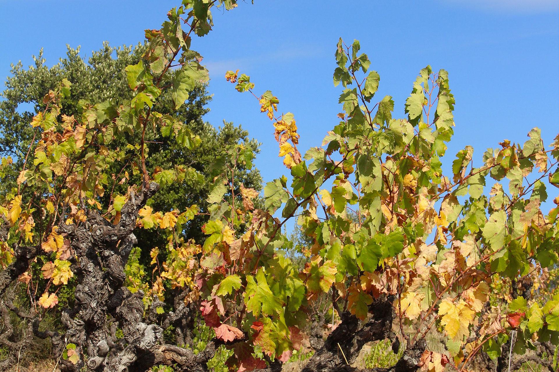 Magnifique-vignes-Madame-de-ses-vignes