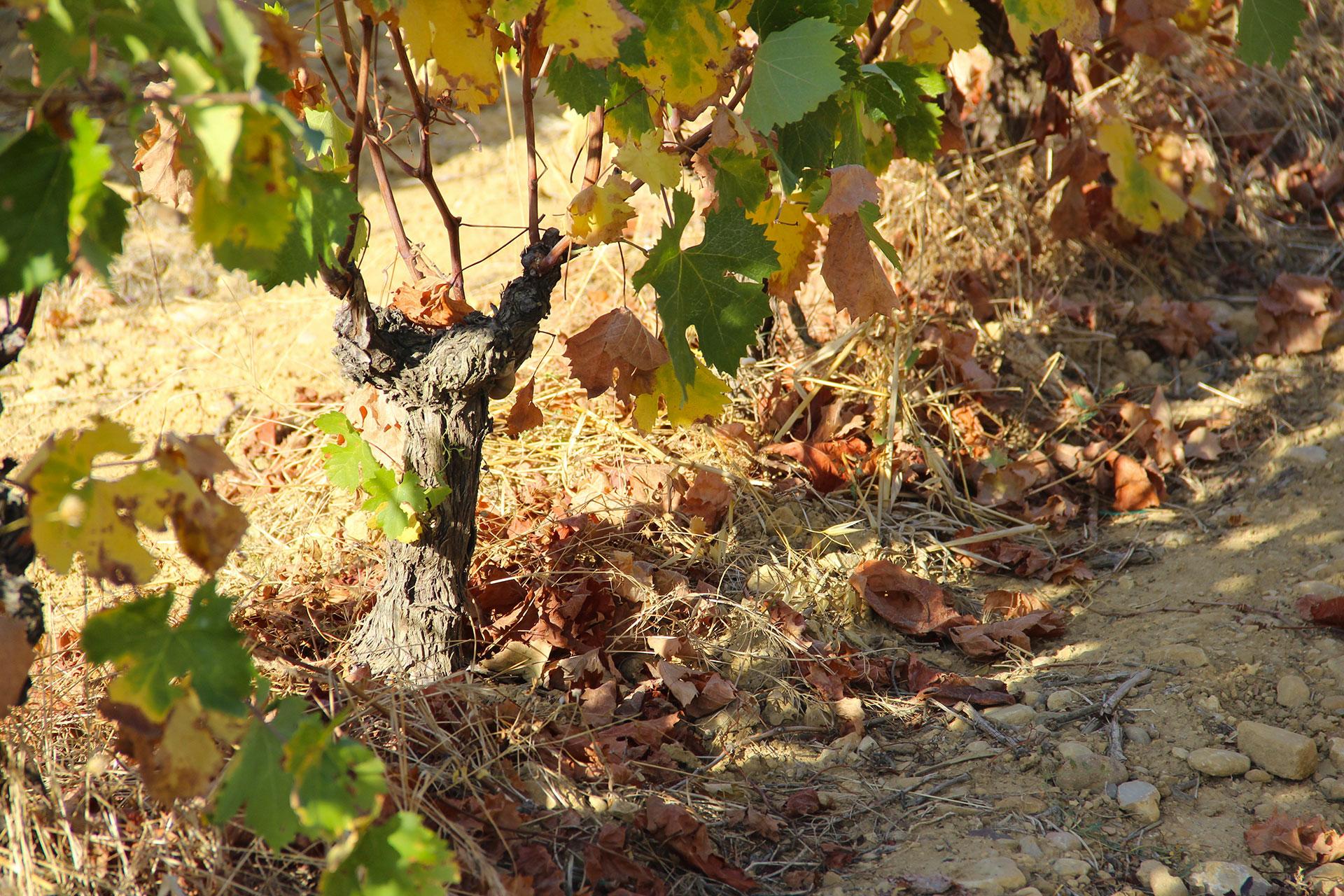 Vigne-Chabanon
